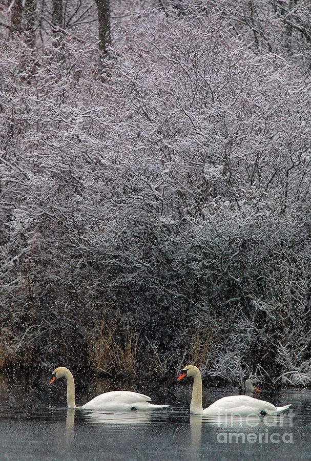Winter Photograph - Swans At Mill Pond Yarmouth On Cape Cod by Matt Suess