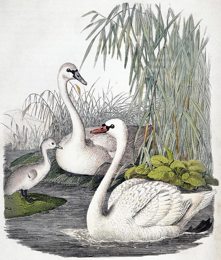 Swans, C1850 Photograph