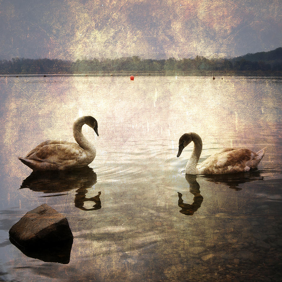 swans on Lake Varese in Italy Photograph