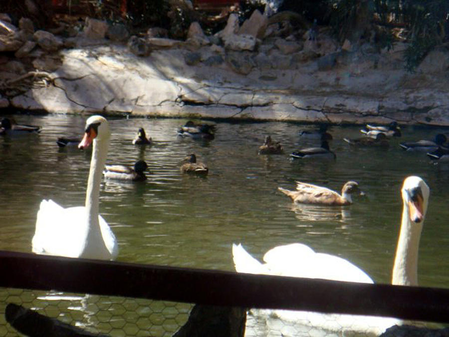 Swans On The Lake Photograph