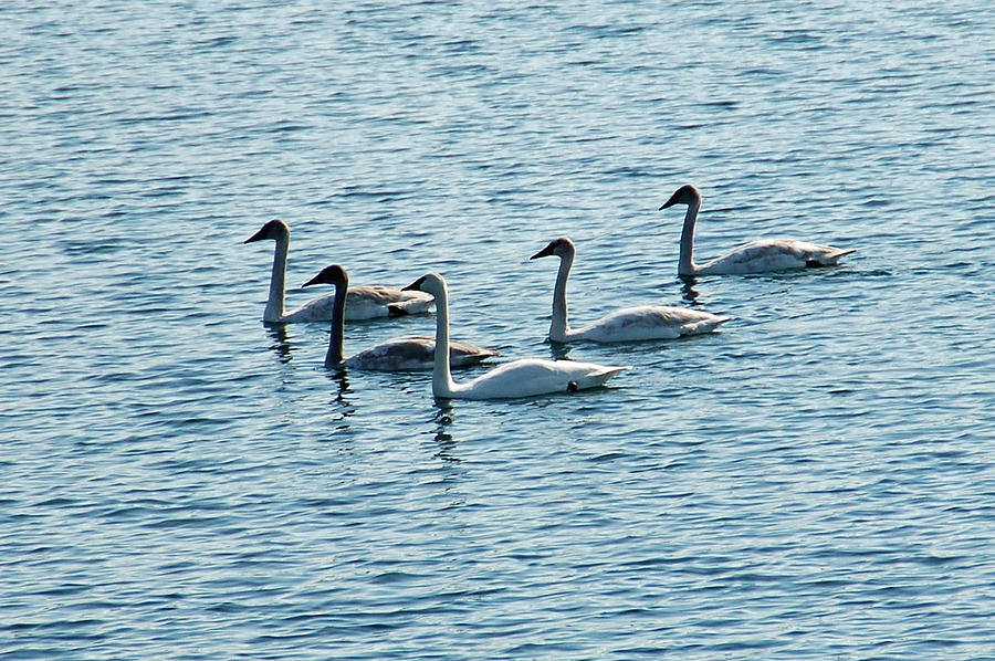 Swans Swimming Photograph