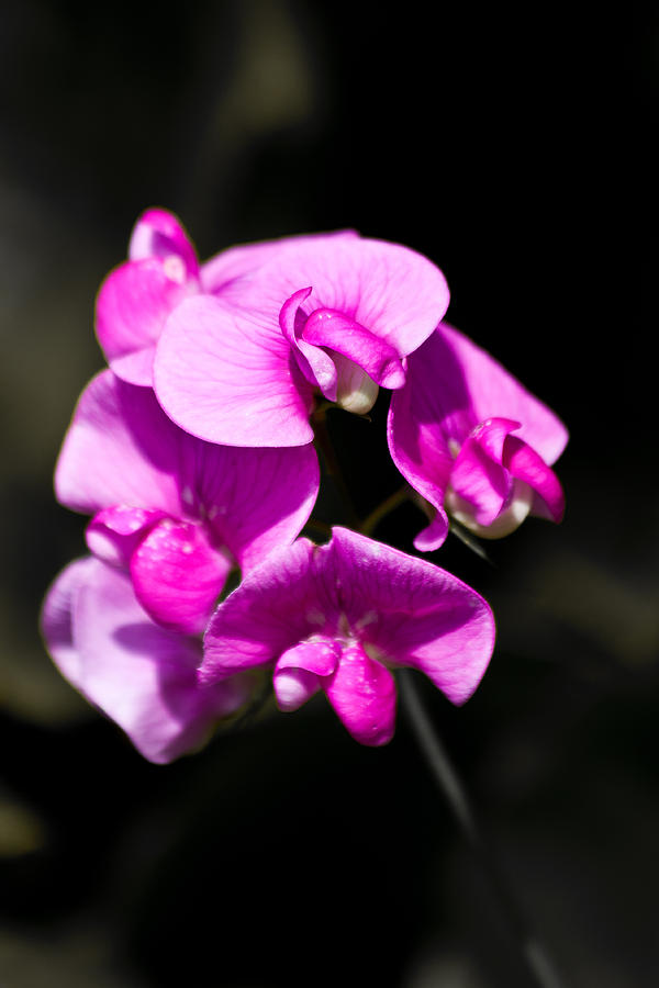 Sweat Pea Photograph