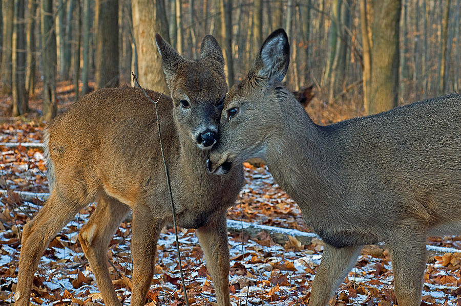 Sweet Deer Photograph  - Sweet Deer Fine Art Print