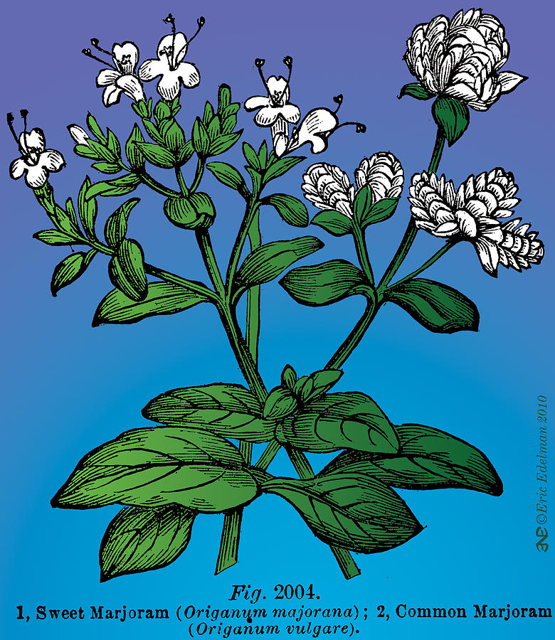 Sweet Marjoram Digital Art  - Sweet Marjoram Fine Art Print