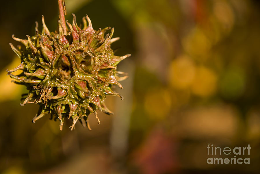 Sweetgum Tree Photograph - Sweetgum Seed Pod by Heather Applegate