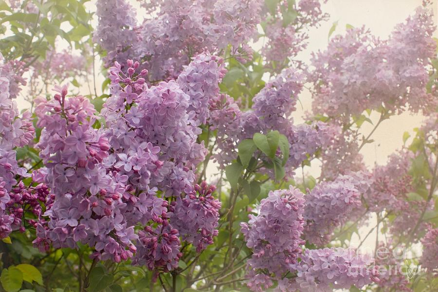 Swimming In A Sea Of Lilacs Photograph