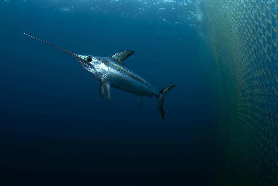 Swordfish Swimming Swordfish Underwater