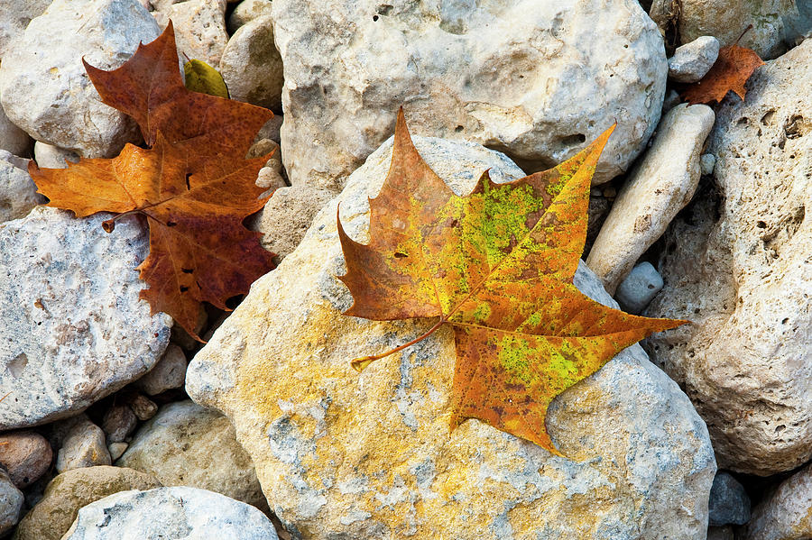 Sycamore Leaves On Creek Bed Stones. Photograph