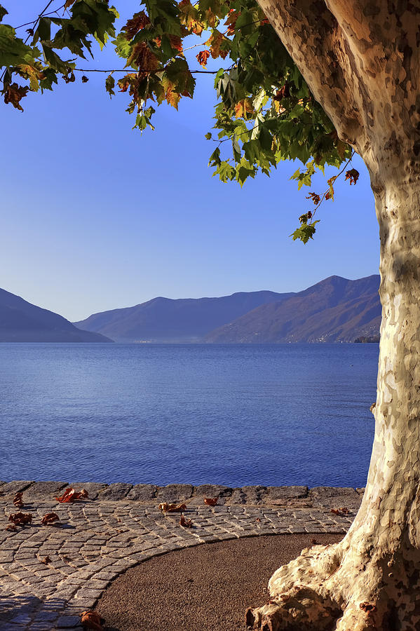 sycamore tree at the Lake Maggiore Photograph  - sycamore tree at the Lake Maggiore Fine Art Print