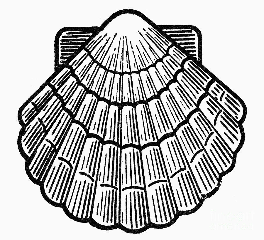 How to remove a scallop from its shell  YouTube
