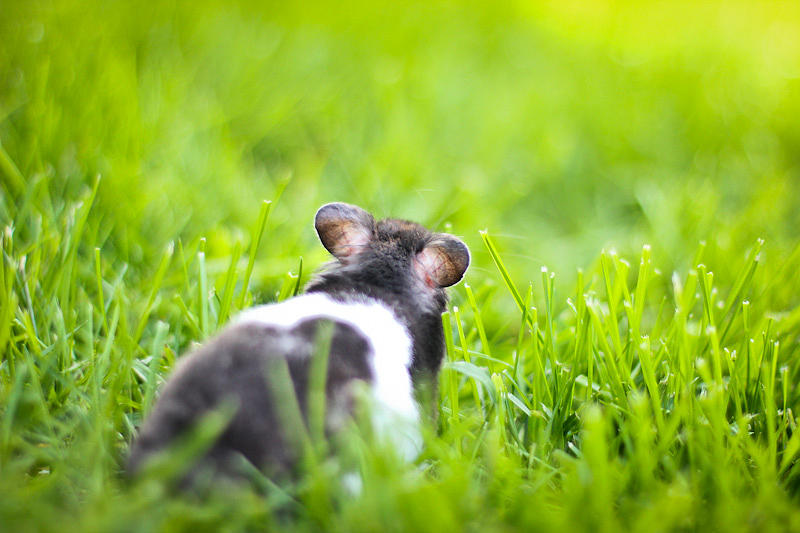 Black Banded Shorthaired Syrian Hamster Exploring The Backyard Green Grass Photograph - Syrian Hamster by Asta Viggosdottir