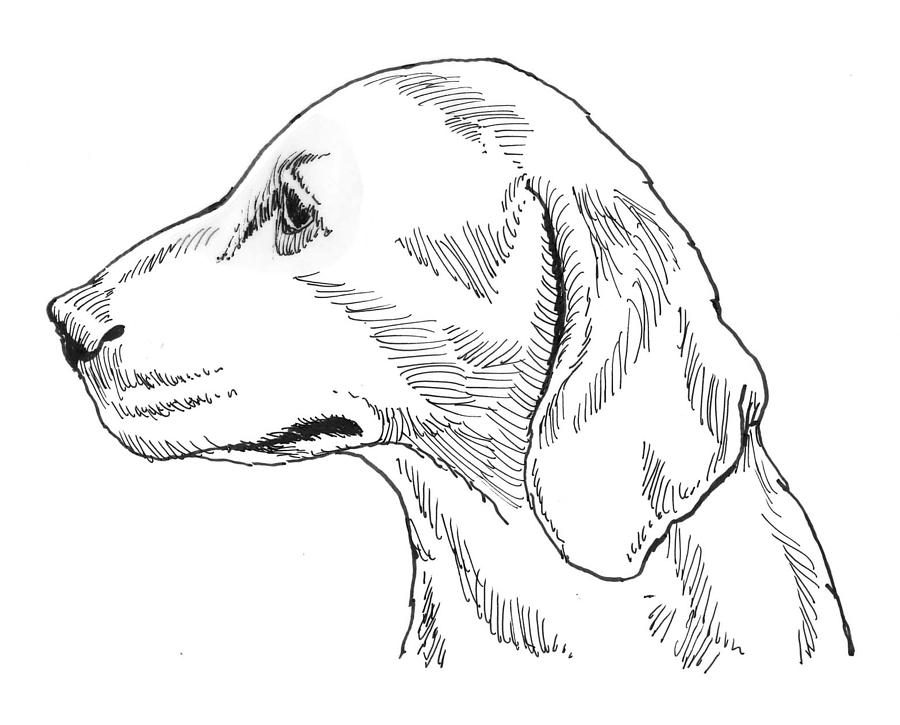 Talbot Hound Drawing