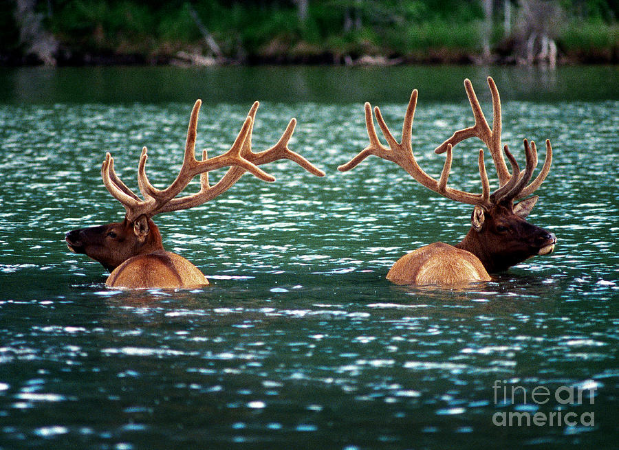 Talbot Lake Elk Photograph