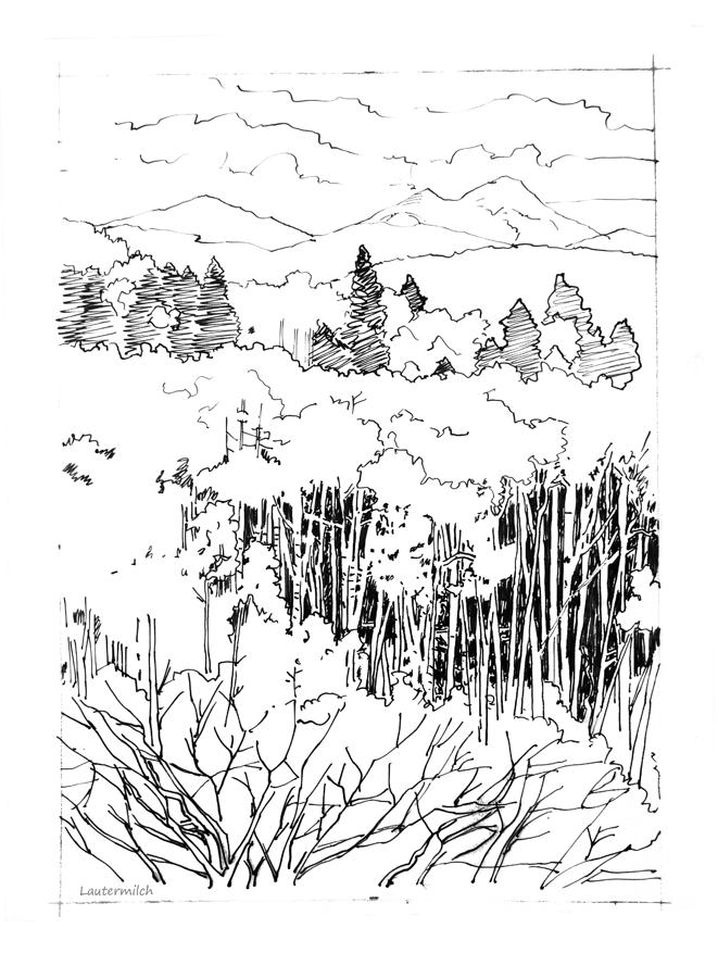 Tall Aspens Rocky Mountains Drawing