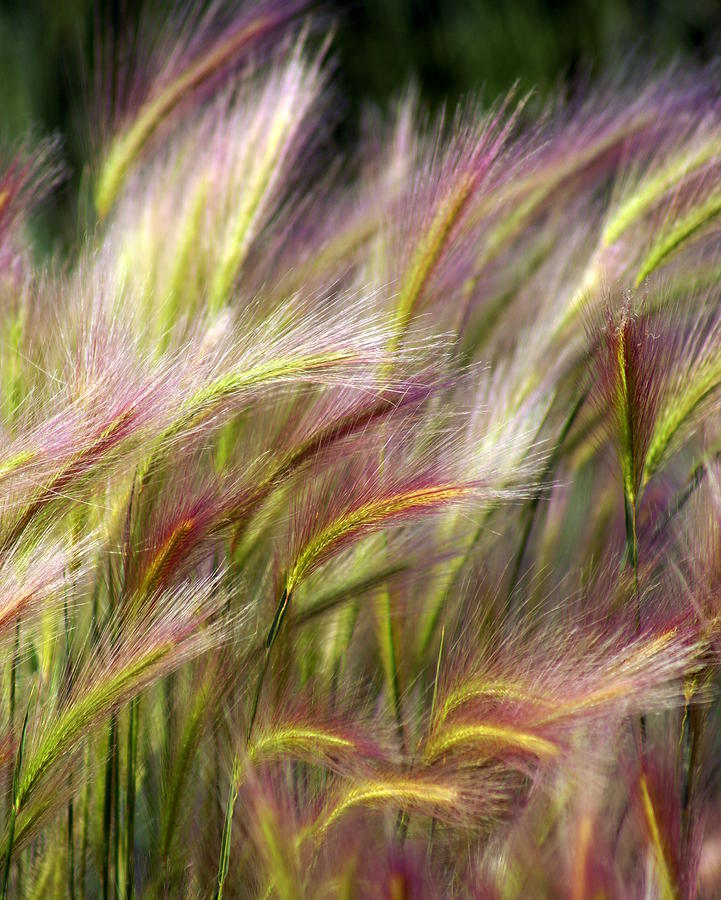 Tall Grass Photograph