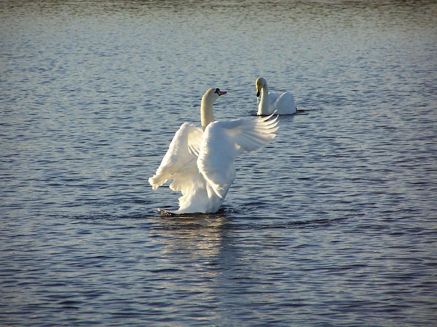 Tall Swan Photograph