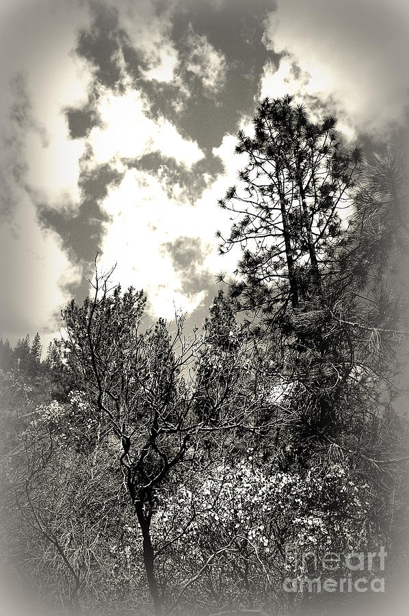 Tall Trees In Lake Shasta Photograph  - Tall Trees In Lake Shasta Fine Art Print