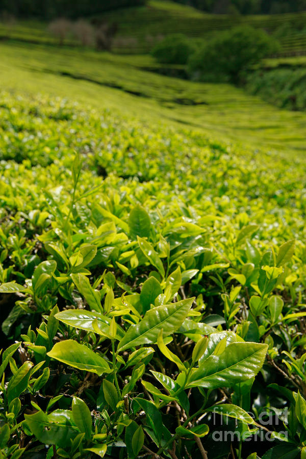 Tea Gardens Photograph  - Tea Gardens Fine Art Print