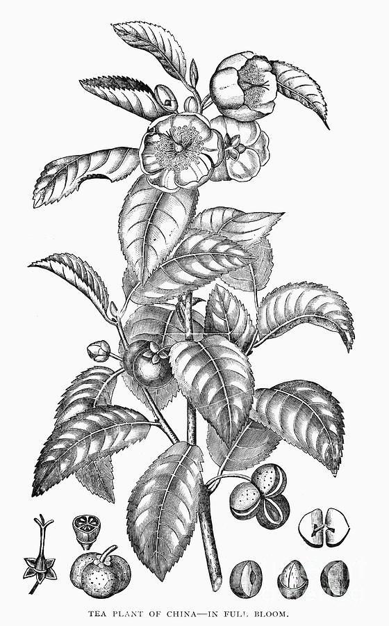 Tea Plant, 19th Century Photograph