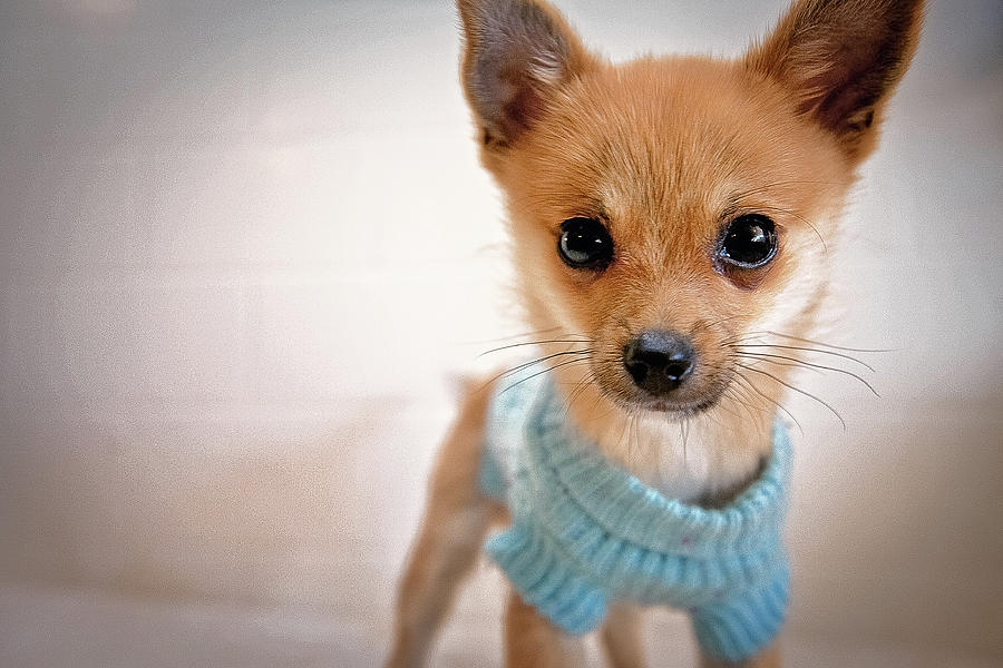 Teacup Chihuahua In Blue Sweater Photograph  - Teacup Chihuahua In Blue Sweater Fine Art Print