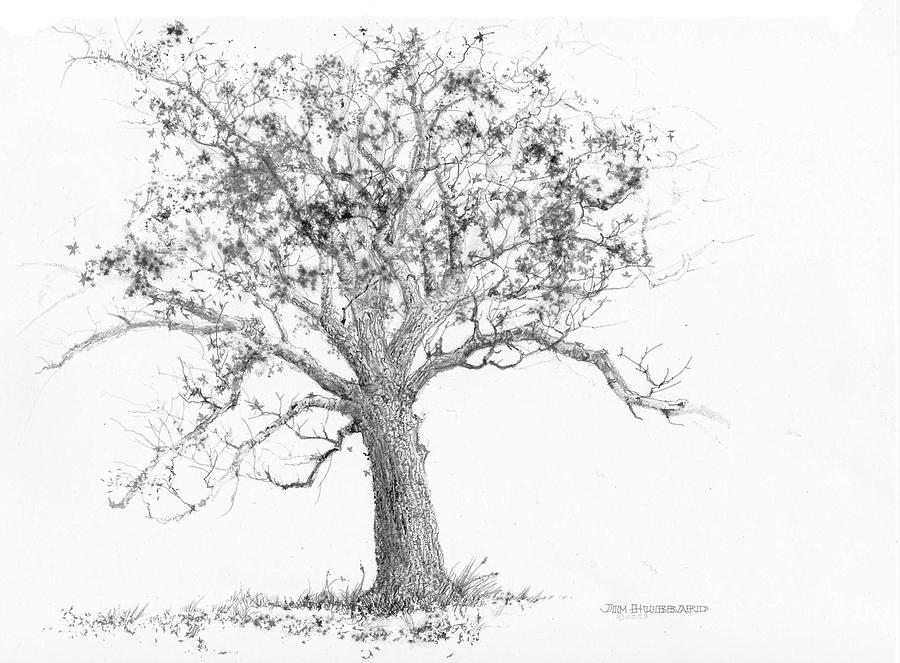 Tennessee-tulip Poplar Drawing