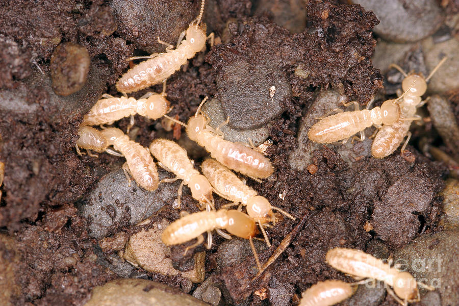 Termite Nest Reticulitermes Flavipes Photograph