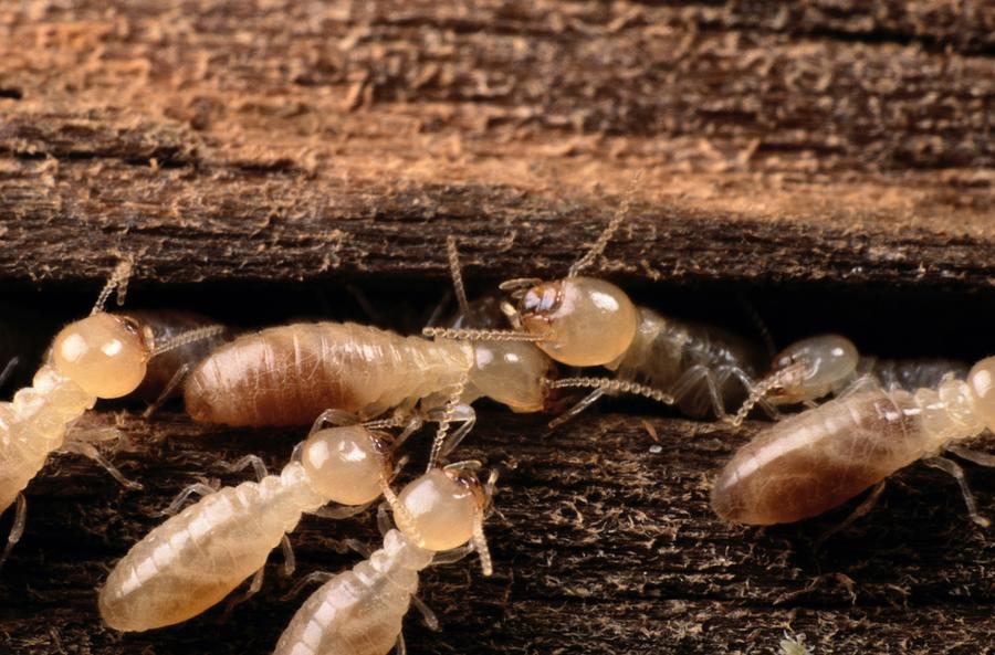 Termites Photograph