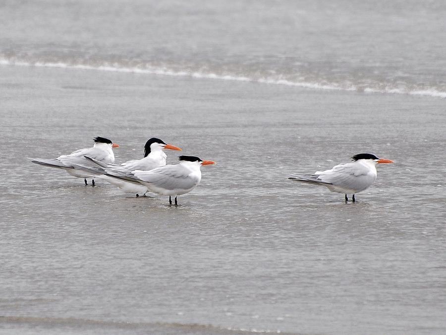 Terns Wading Photograph