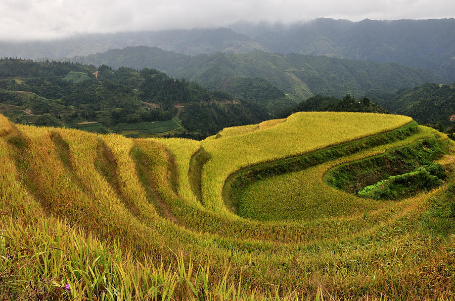 Terraced Field In Longsheng Town, Guilin Photograph  - Terraced Field In Longsheng Town, Guilin Fine Art Print