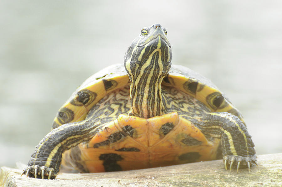 essay on pet turtles