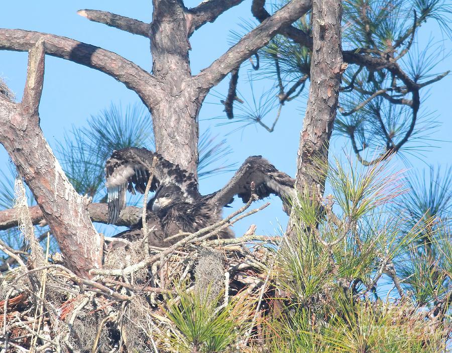 Eagle Photograph - Testing My Wings by Deborah Benoit
