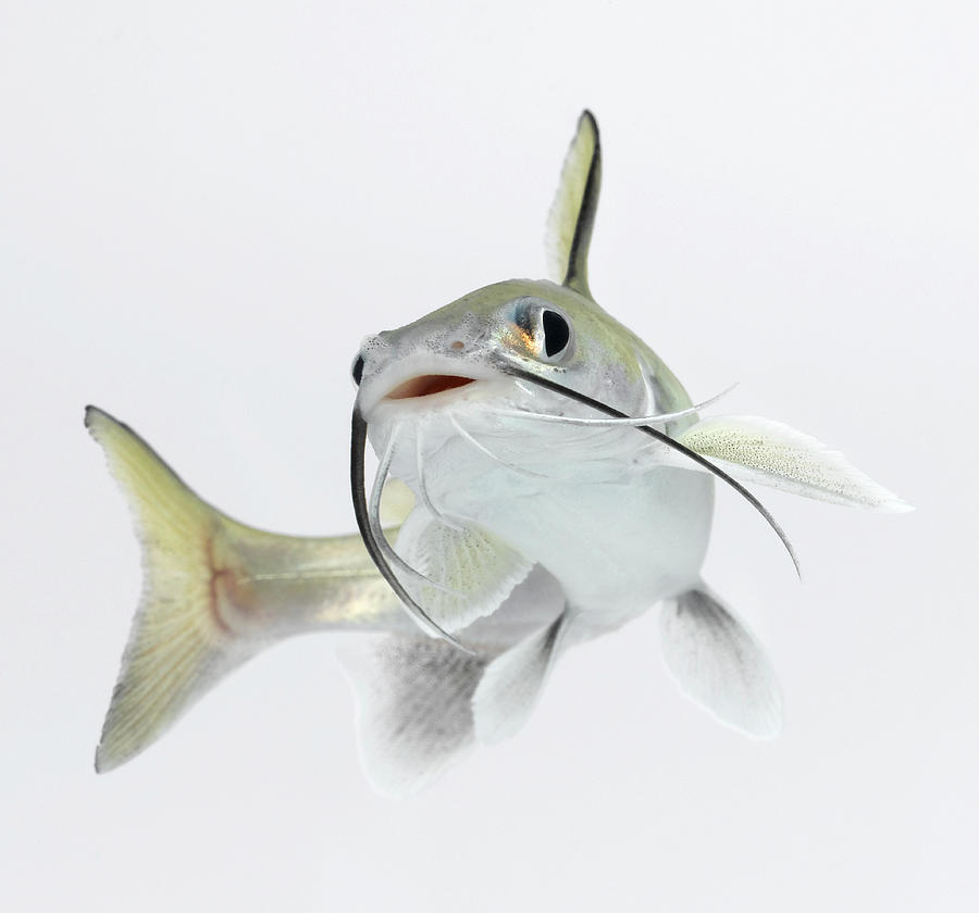 Horizontal Photograph - Tete Sea Catfish (hexanematichthys Seemanni ...