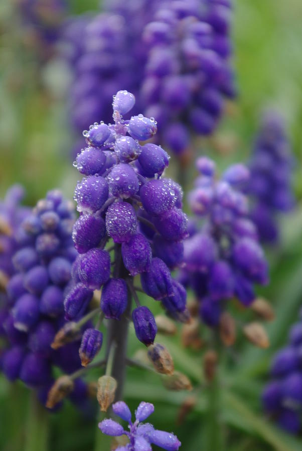 Texas Dew Grape Hyacinth is a photograph by Robyn Stacey which was ...