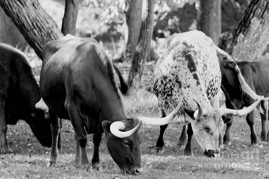 Texas Longhorn Steer In Black And White Photograph