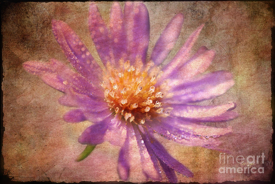 Textured Aster Photograph