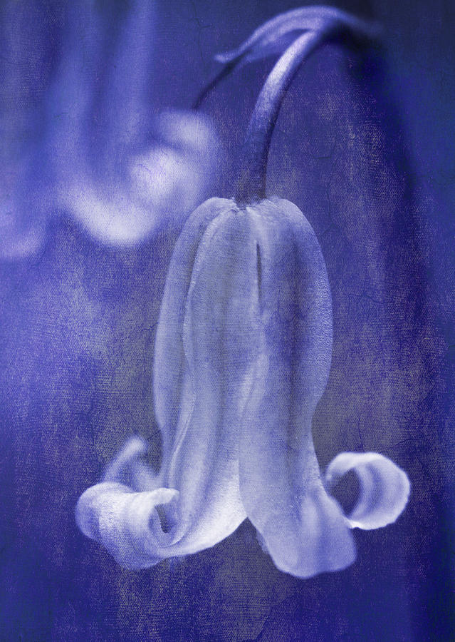 Textured Bluebell In Blue Photograph  - Textured Bluebell In Blue Fine Art Print