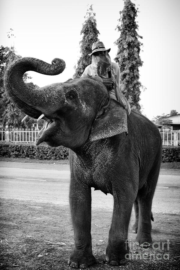 Thai Elephant Roar Photograph