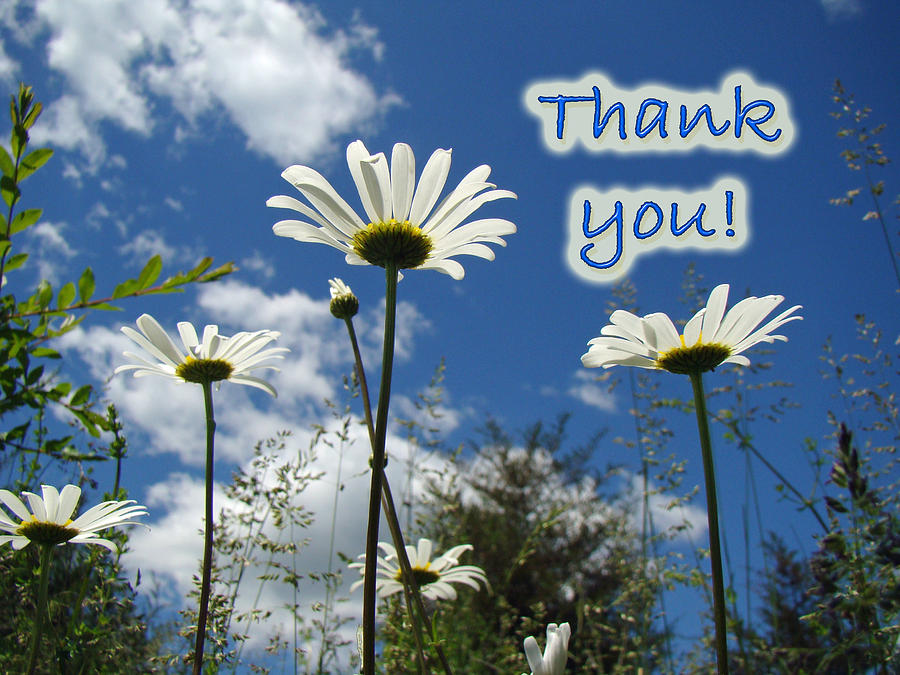 Thank You Greeting CardOxeye Daisy Wildflowers Photograph by