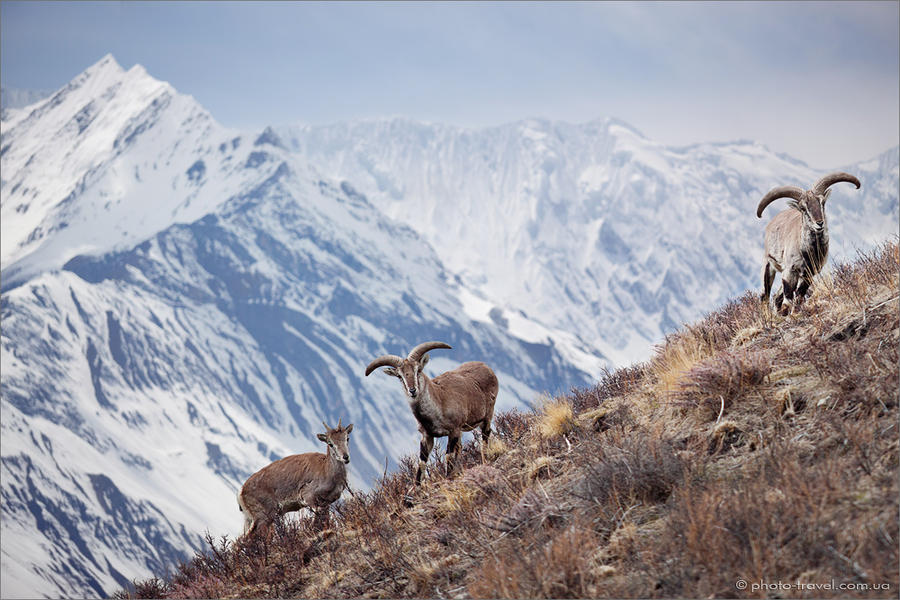 the bharal or himalayan blue sheep by anton jankovoy