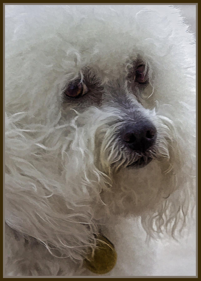 The Bichon Frise Photograph