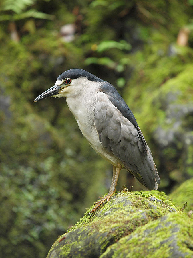 The Black Crowned Night Heron Photograph