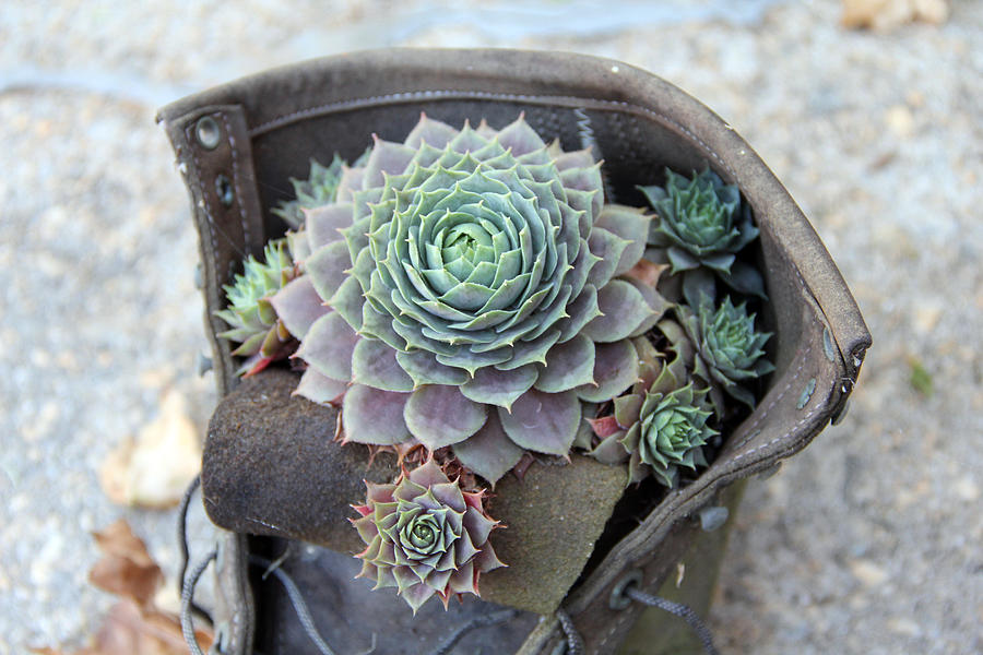 The Boot Planter Photograph