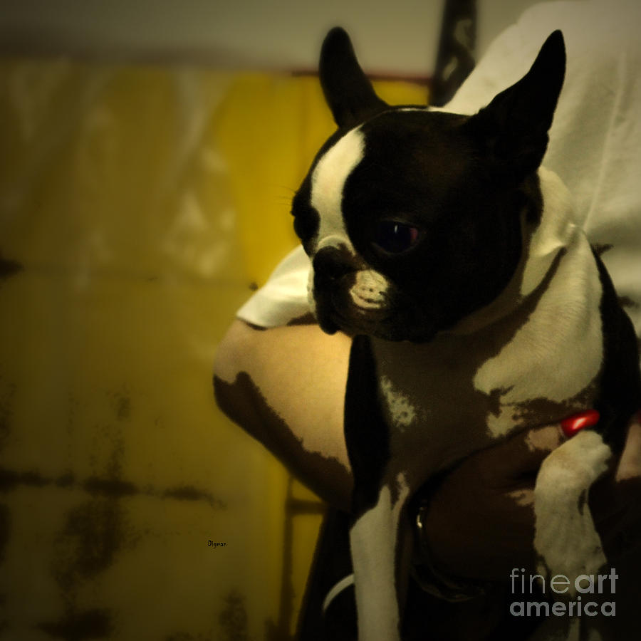The Boston Bull Terrier  Photograph  - The Boston Bull Terrier  Fine Art Print