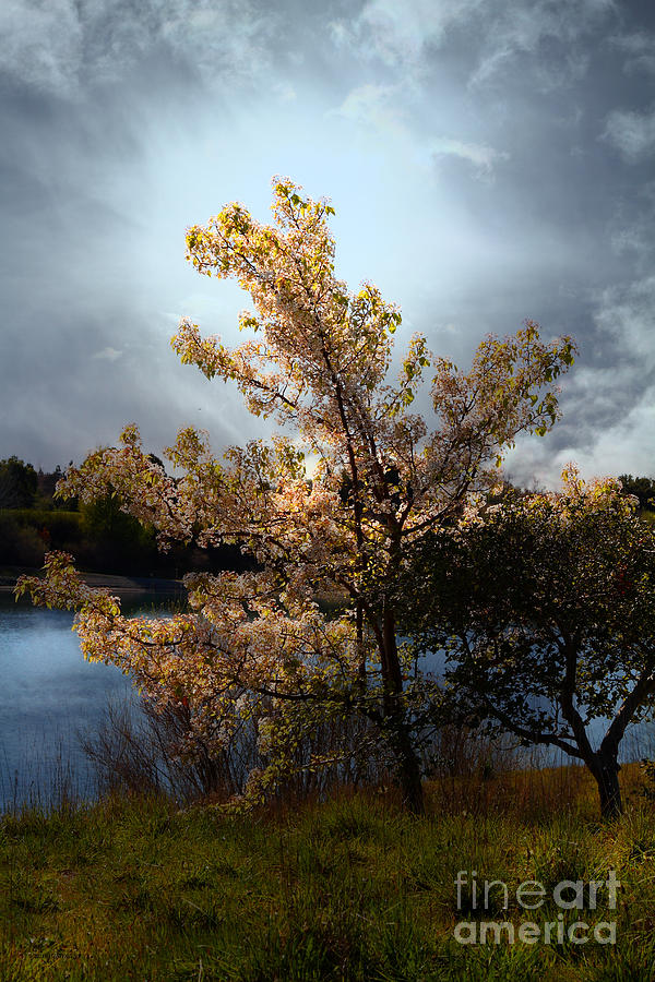 The Cherry Blossom Tree . 7d12703 Photograph  - The Cherry Blossom Tree . 7d12703 Fine Art Print