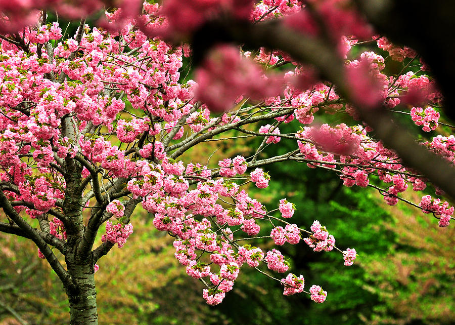 Cherry Blossoms Photograph - The Cherry Orchard by Rebecca Sherman
