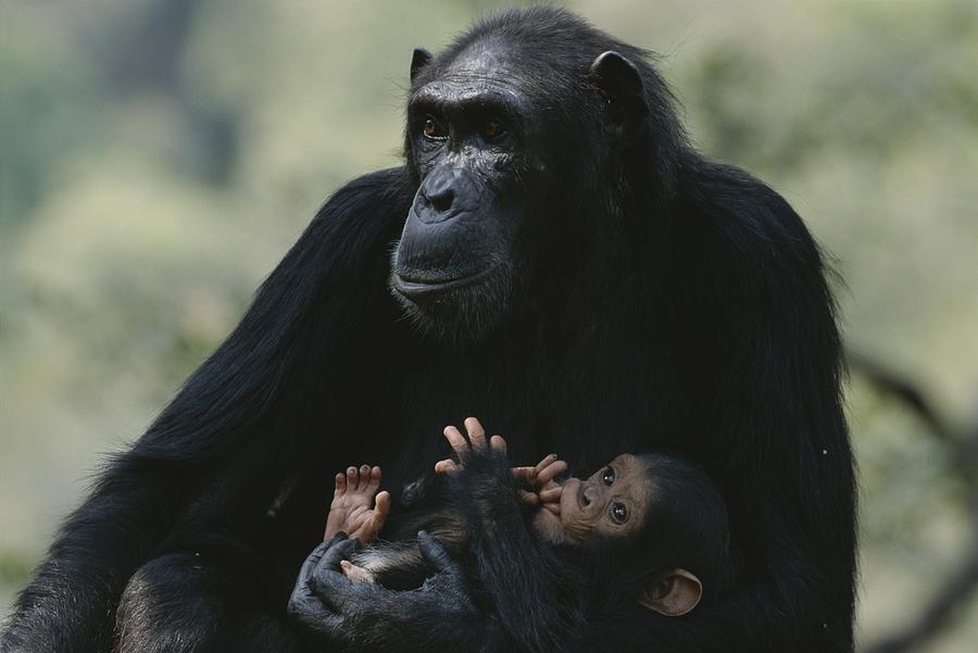 The Chimpanzee Rafiki With Her Twins Photograph