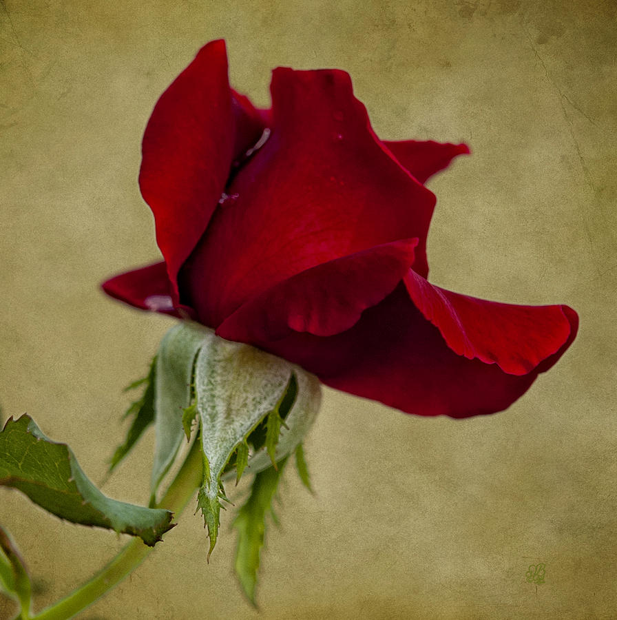 Rose Photograph - The Classic by Barbara Middleton