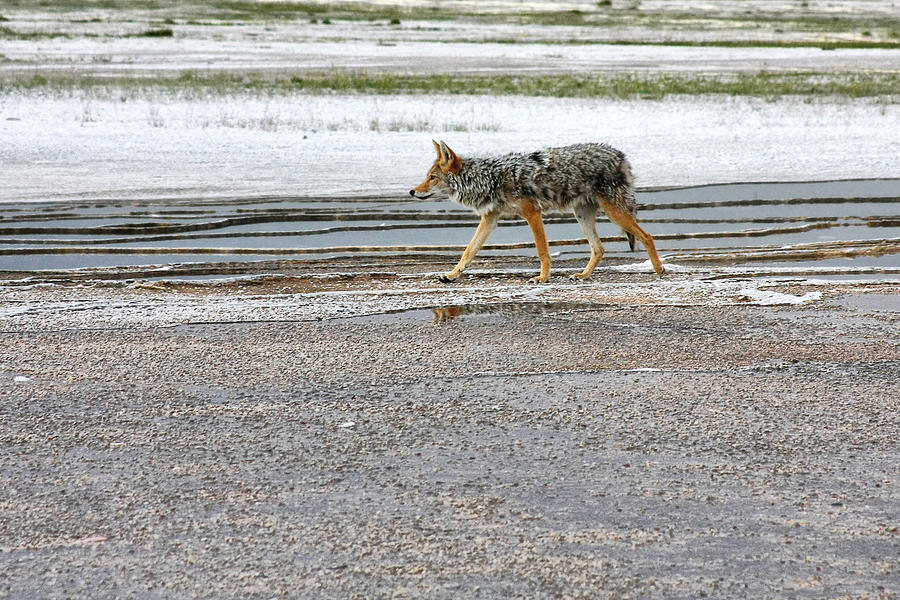 The Coyote - Dogs Are By Far More Dangerous Photograph  - The Coyote - Dogs Are By Far More Dangerous Fine Art Print