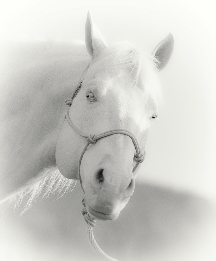 The Cremello Photograph  - The Cremello Fine Art Print