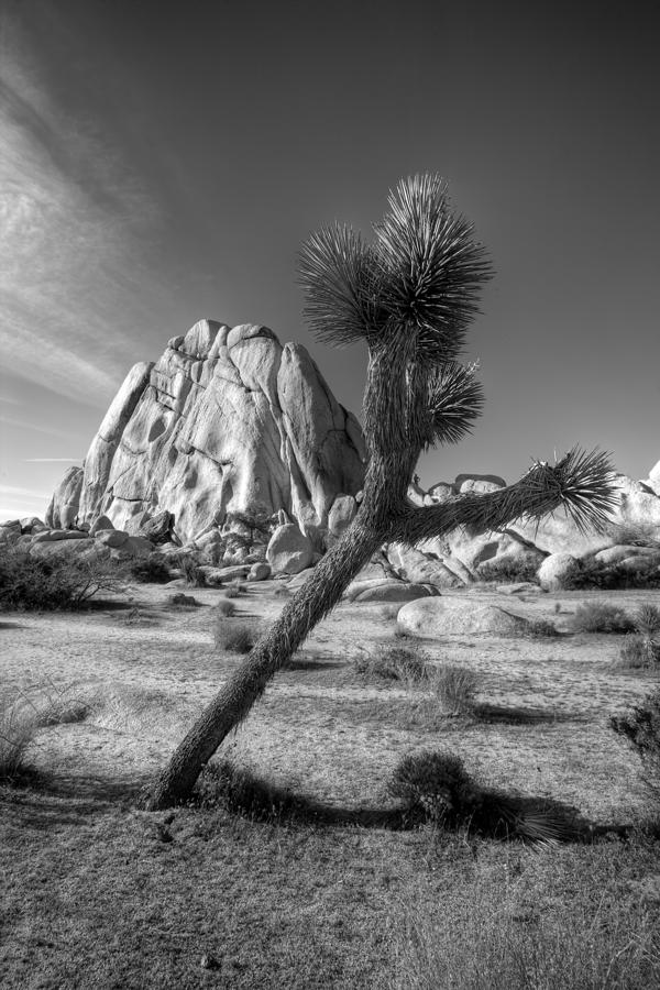 The Crooked Joshua Tree Photograph